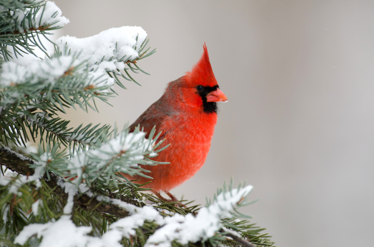 cardinal on an evergreen