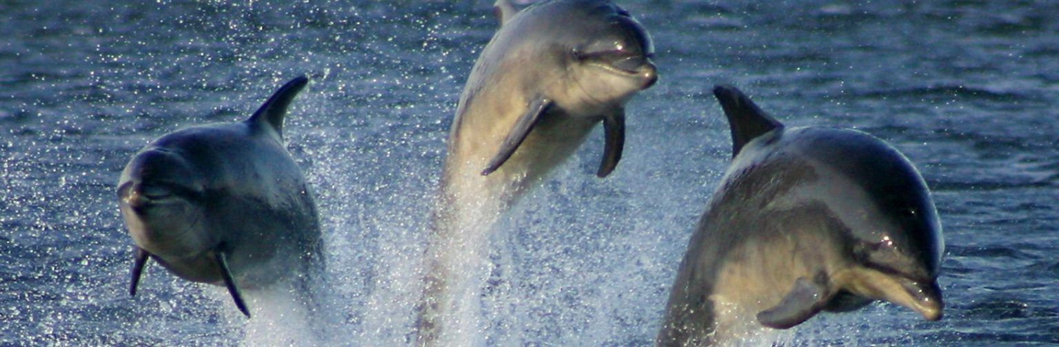 three dolphins splashing